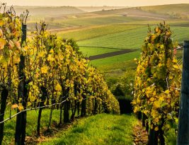 Hawke's Bay: A Renowned Destination for Sauvignon Blanc